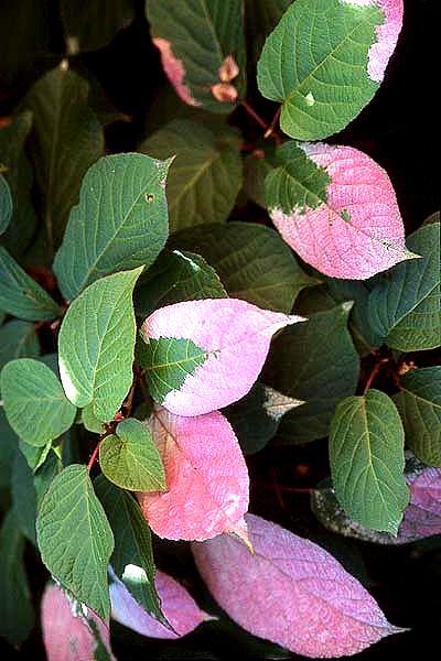 Актинидия имеет интересные и яркие декоративные листья