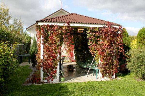 Беседка заплетается виноградом за 2 — 3 года.