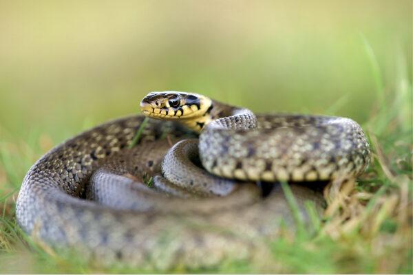 Появление змей на даче