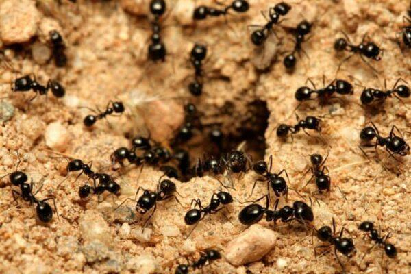 Чёрные муравьи - это вредители