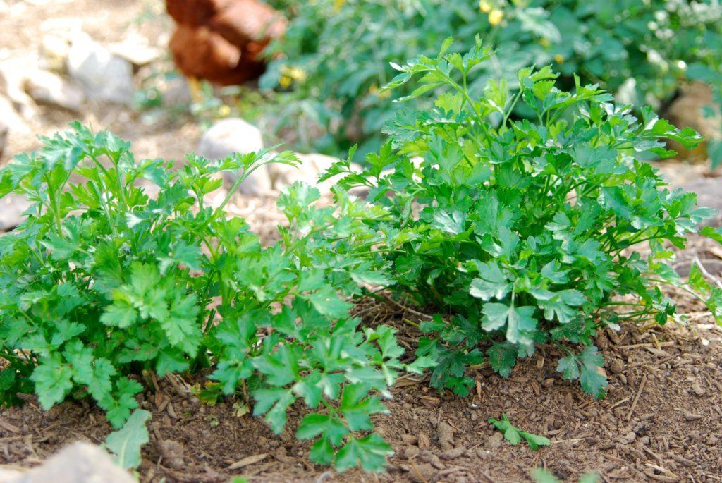 как быстро прорастить семена базилика