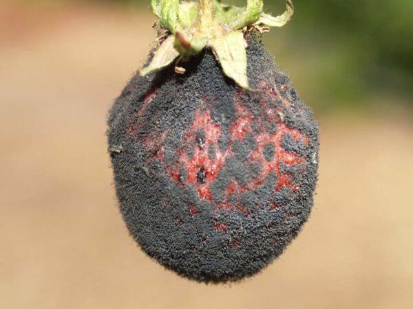 Черная плодовая гниль