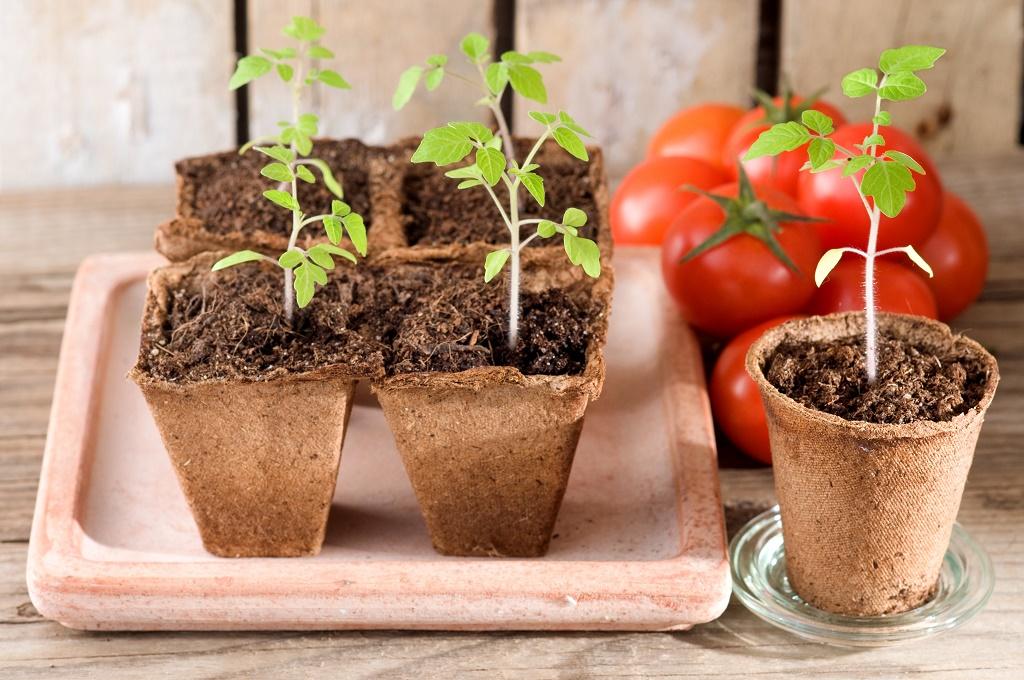 Когда и как правильно пересадить рассаду помидоров в теплицу и открытый грунт