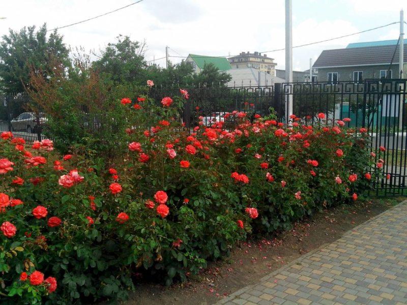 дает розы на садовом участке фото участница имени