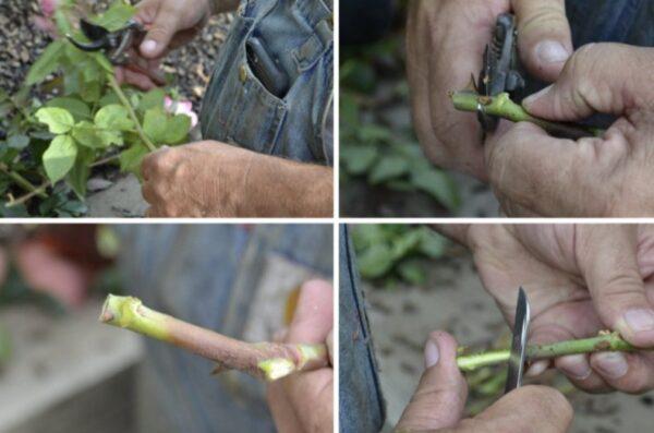 Нарезка ростков розы
