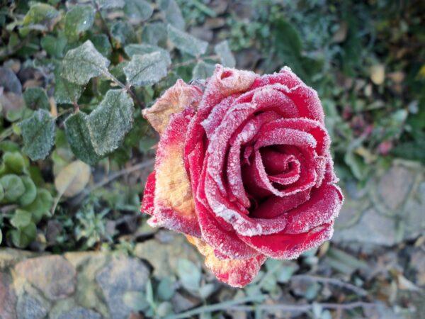 Мучнистая роса розы