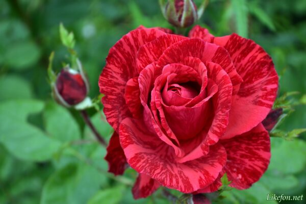 Полосатость на розах