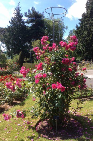 Розы на опоре