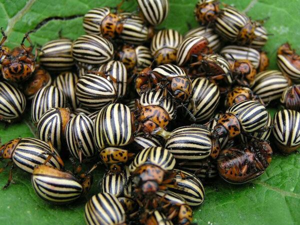Отряд колорадских жуков