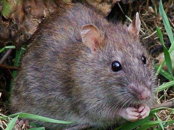 Мышь на дачном участке