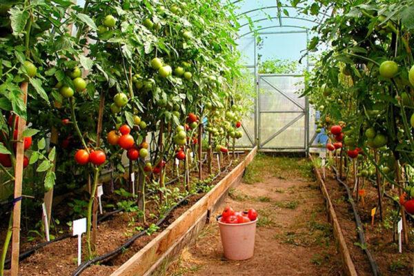 Теплолюбивые сорта томата предназначены для теплиц