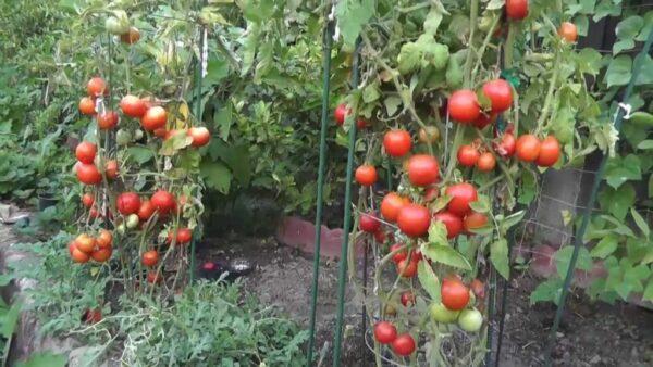Небольшое количество тепла и света - подходящие условия для помидоров