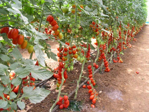 Формировка томатам необходима