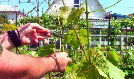 Подвязывание кустов винограда