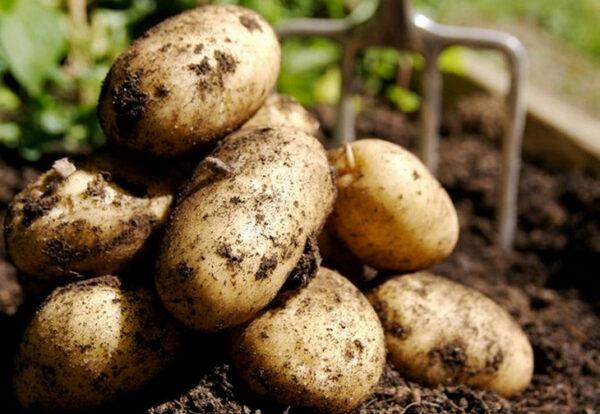 Плохой рост картофеля - это возможно исправить