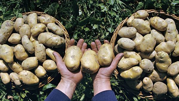 Севооборот - важная составляющая ухода за картофелем