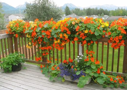 Настурция в саду