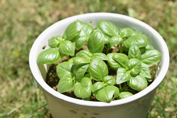 Выращивание в горшках