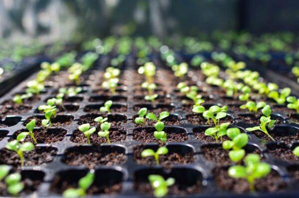 Луковая шелуха поможет вашей рассаде вырасти крепкой и сильной