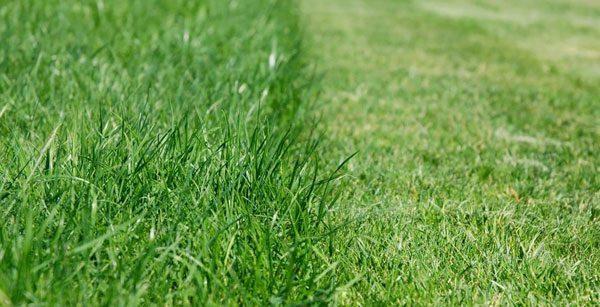 Сильно скошенная газонная трава