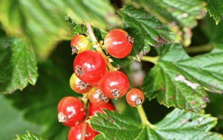 Мелкие ягоды красной смородины
