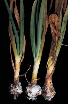 Зараженный лук в почве