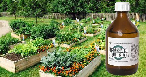 Перекись водорода - главное средство для защиты огорода