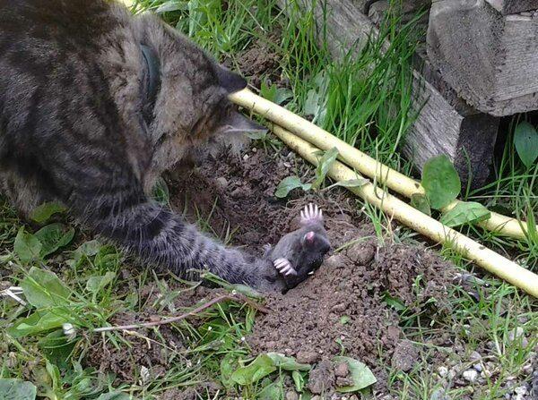 Кошка-кротолов