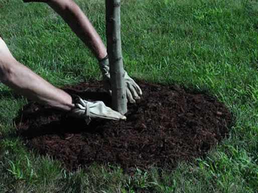 Присыпание почвы к стволам