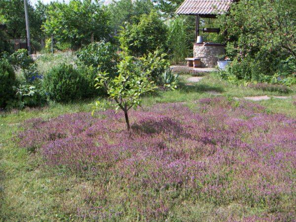 Чабрец красиво цветет и пахнет, идеален для газона