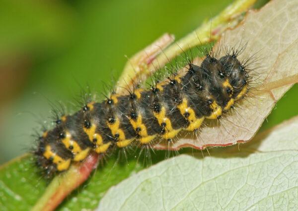 Это будущая бабочка или мотылёк