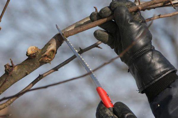 Правильная подрезка побегов и ветвей дерева