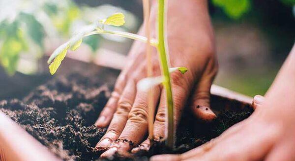 Ошибки на даче, посадка взрослых растений - запоздалое решение
