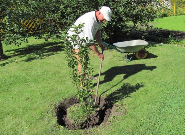 Поздняя посадка взрослых саженцев, создаст только разочарование, поскольку дерево очень долго будет болеть
