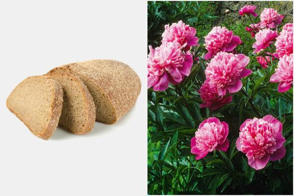 Настойку из хлеба, воды и одуванчика очень любят пионы