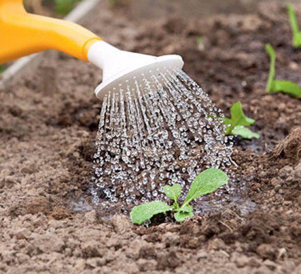 Поливаем правильно высаженную рассаду
