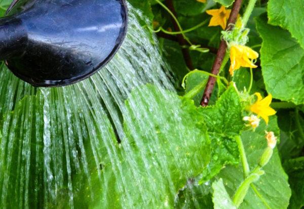 Старайтесь при поливе не попадать на листья растения