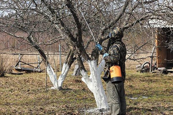 Покрываем стволы деревьев побелкой и обрабатываем ветви от вредителей