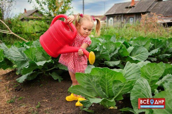 Ребенок поливает капусту в огороде на даче