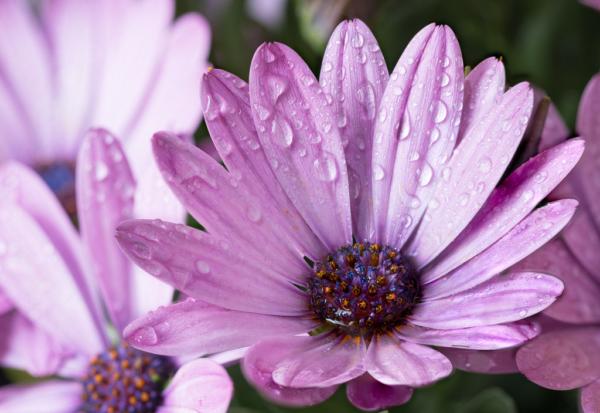 Ромашка с розовыми лепестками