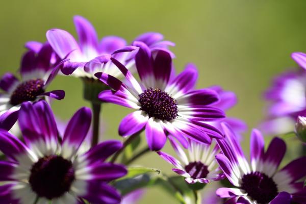 Остеоспермум нуждается в постоянном уходе как и любое цветущее растение
