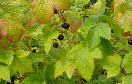 Чёрная смородина, считалась пару лет назад неприхотливым растением
