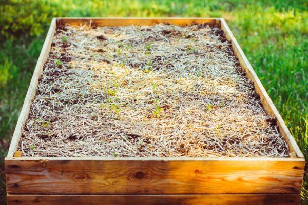 Появление ростков культур на грядке с дренажем из соломы