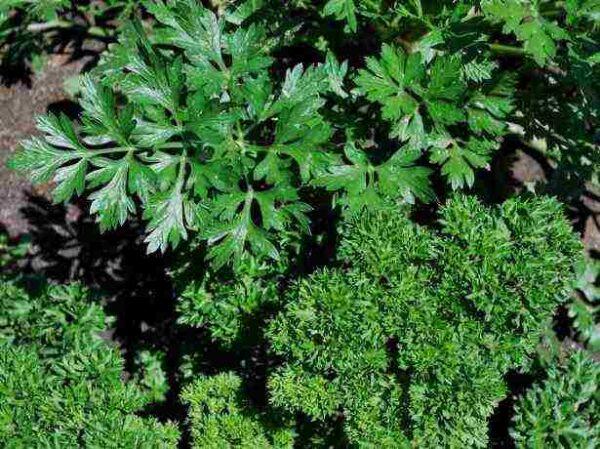 Листовой сорт петрушки - Астра