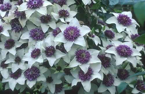 Клематис необыкновенно красиво и обильно цветет