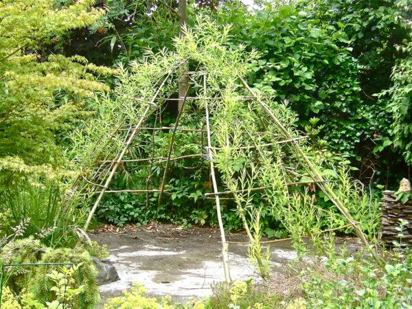 Пример того, как прутковый шалаш постепенно покрывается вьющимися растениями