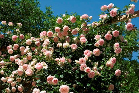 Роза – королева цветов: вьющееся растение для беседки
