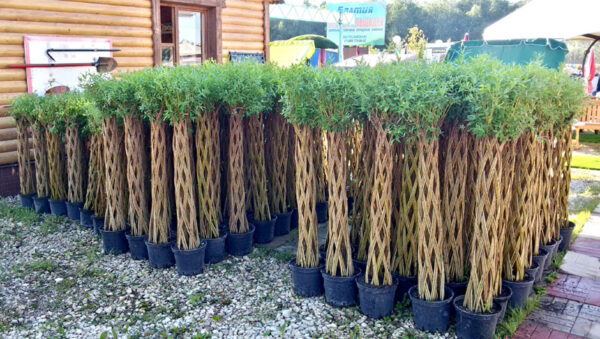 Существуют предприятия, где выращивают иву для плетения промышленным способом.