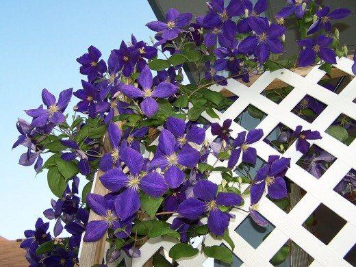 Цветы ломоноса на решетке
