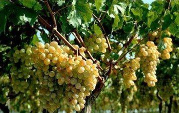 Беседка под виноград своими руками: видео-инструкция по монтажу, как сделать формировку, цена, фото